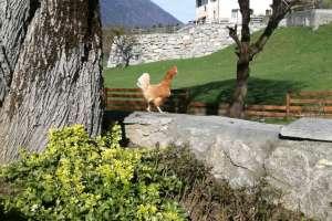 Ich wollt ich wär ein Huhn und hätt nicht viel zu tun! - © www.urlaub-greifenburg.at