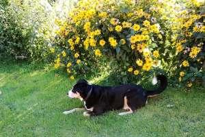 Frodo fühlt sich wohl im Blumengerten. - © www.urlaub-greifenburg.at